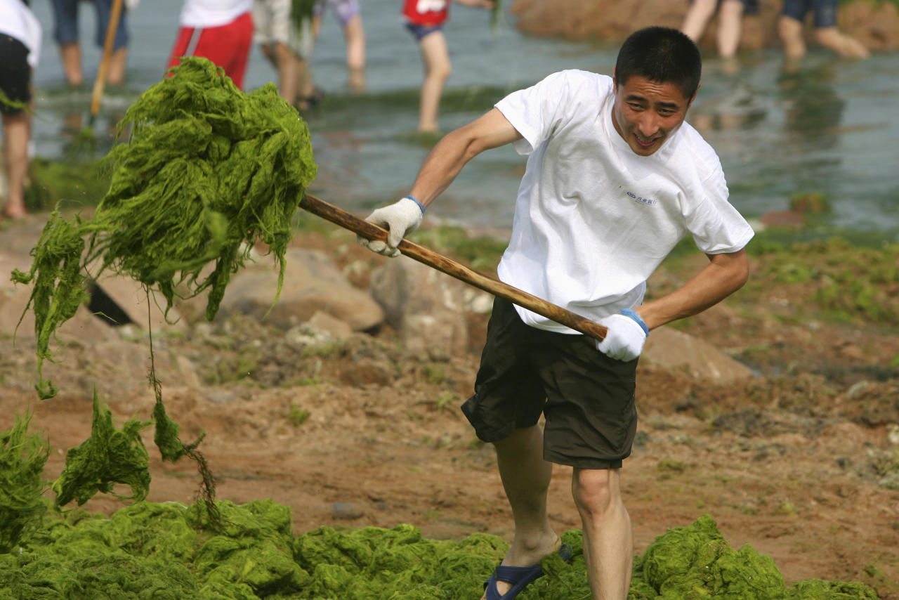 A man clears algae along the coastline of Qingdao, Shandong province, July 3, 2008. REUTERS/Stringer