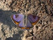 """<p><strong>The Colorado Hairstreak </strong><br><br>According to Colorado's Butterfly Pavilion, <a href=""""https://butterflies.org/thecoloradohairstreak/"""" rel=""""nofollow noopener"""" target=""""_blank"""" data-ylk=""""slk:a fourth grade class"""" class=""""link rapid-noclick-resp"""">a fourth grade class </a>petitioned for this purple beauty to be their state insect. </p>"""