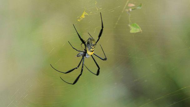 PHOTO: In this undated file photo, a golden orb-web spider (Nephila fenestrata) is shown. (Dorit Bar-Zakay/Getty Images, FILE)