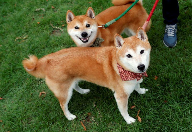FILE PHOTO: A local resident takes Japanese Shiba Inu dogs for a walk in Toyota, central Japan
