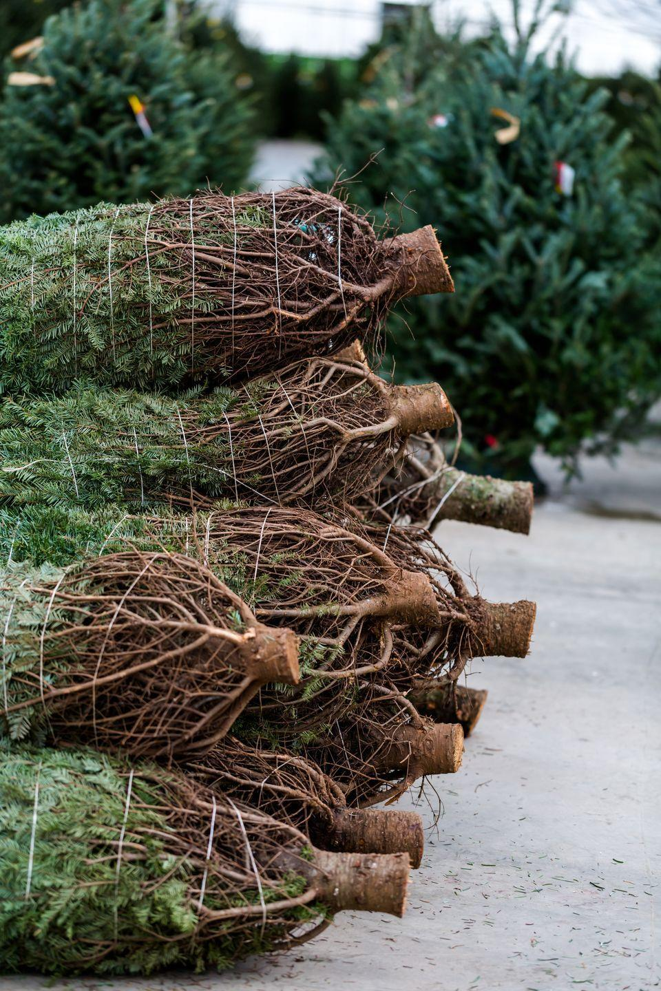 """<p><strong>Midway, Georgia</strong> (Starting November 29)</p><p>Cut your own tree, hop on for a hayride, and try to spot a wild turkey on <strong><a href=""""http://www.brewerchristmastreefarm.com/directions.htm"""" rel=""""nofollow noopener"""" target=""""_blank"""" data-ylk=""""slk:Brewer's Christmas Tree-Blueberry Farm"""" class=""""link rapid-noclick-resp"""">Brewer's Christmas Tree-Blueberry Farm</a></strong>. Santa comes around on occasion, probably because of the farm's homemade jams, jellies, and their hefty supply of cookies. </p>"""