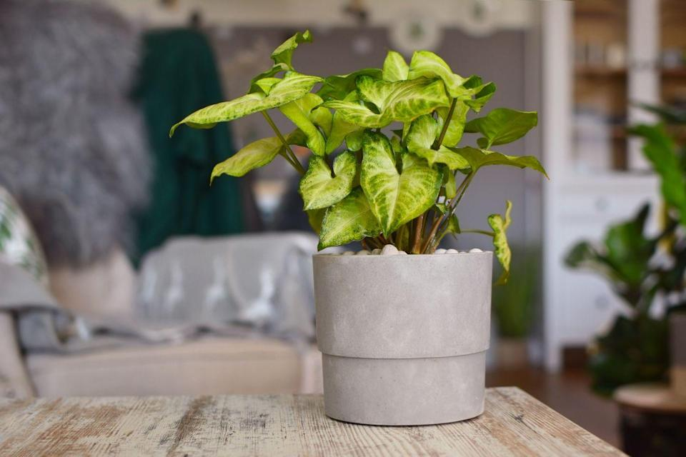 """<p>Arrow-shaped leaves with silver splashes make this an interesting plant that'll brighten up any room. Bonus: It's not fussy, and extremely easy for beginners to care for. Just make sure it has moderate light, and lightly moist soil. </p><p><a class=""""link rapid-noclick-resp"""" href=""""https://www.amazon.com/Syngonium-White-Butterfly-Arrowhead-Plant/dp/B07YYNNGRN/?tag=syn-yahoo-20&ascsubtag=%5Bartid%7C10055.g.32440507%5Bsrc%7Cyahoo-us"""" rel=""""nofollow noopener"""" target=""""_blank"""" data-ylk=""""slk:SHOP ARROWHEAD PLANT"""">SHOP ARROWHEAD PLANT</a></p>"""
