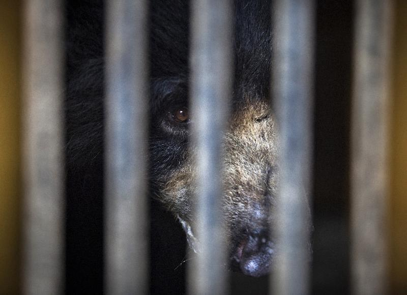 Rangila, Nepal's last known dancing bear, is pictured at a zoo near the capital Kathmandu, before he was transferred to a sanctuary for rescued bears in India (AFP Photo/KISHOR SHARMA)
