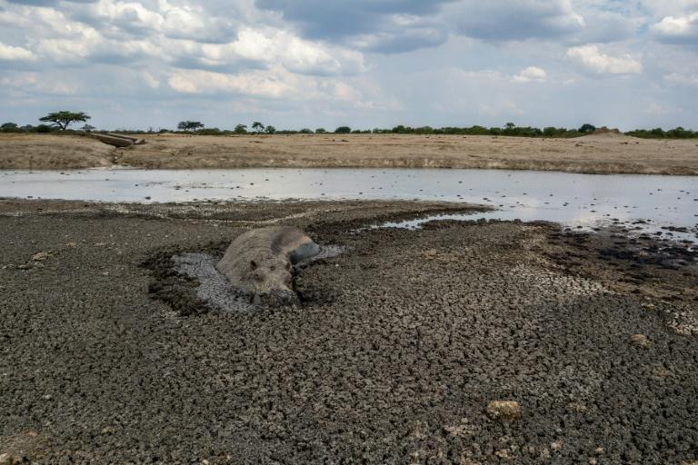 In this file photo taken on November 12, 2019 a hippo is stuck in the mud at a drying watering hole in the Hwange National Park, in Zimbabwe