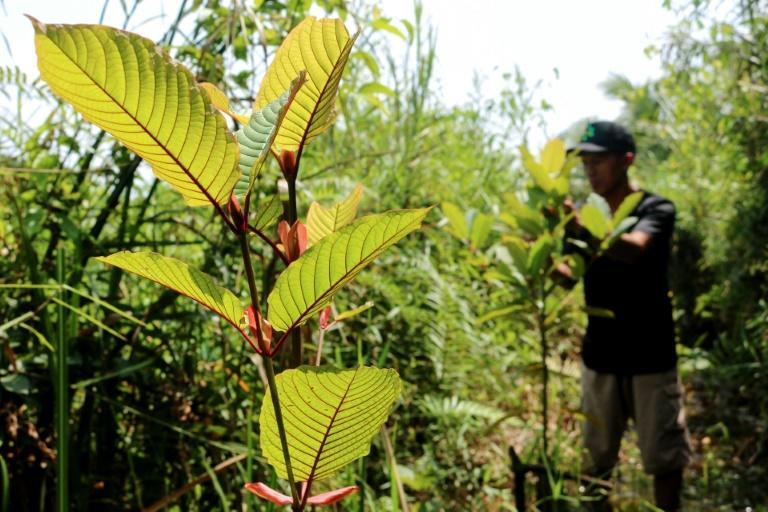 Health authorities in the United States -- now the kratom's top importer -- have linked consumption of the plant and its derivatives to dozens of deaths, warning it could aggravate a deadly opioid epidemic gripping parts of the country