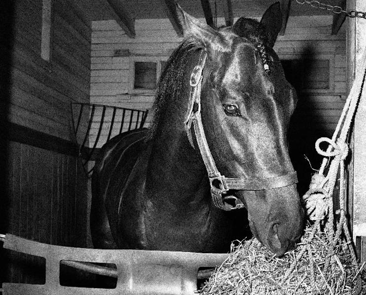 FILE - In this June 8, 1958, file photo, Tim Tam eats hay in a stall the day after the Belmont Stakes horse race at Belmont Park in Elmont, N.Y. The Calumet Farm bay colt finished second to Cavan by 5 1/2 lengths after running the final quarter-mile with a broken bone in his right front ankle. As I'll Have Another prepares to attempt to win the Belmont Stakes in his quest to become the 12th Triple Crown champion and first in 34 years on Saturday, June 9, 2012, The Associated Press takes a look at some of the 19 horses who won the Kentucky Derby and the Preakness, but came up short in the final leg of the Triple Crown, and how the race unfolded. (AP Photo/Jacob Harris, File)