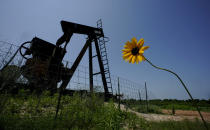 A wildflower blows in the wind near an old pump jack on Molly Rooke's ranch, Tuesday, May 18, 2021, near Refugio, Texas. Oil and gas drilling began on the ranch in the 1920s and there were dozens of orphaned wells that needed to be plugged for safety and environmental protection. (AP Photo/Eric Gay)