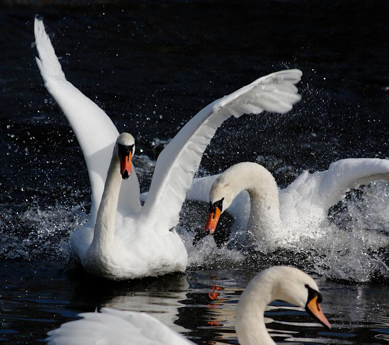 Mute Swans fighting at Slimbridge (Wildfowl and Wetlands Trust/PA)
