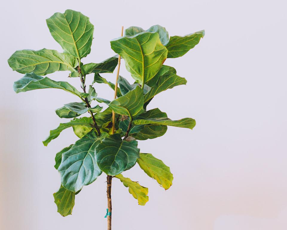Hardest houseplants to keep alive fiddleleaf