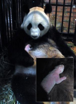 Tokyo's first baby giant panda to be born in 24 years died of pneumonia, July 11, 2012. The panda had been born to parents Shin Shin and Ri Ri in Tokyo's Ueno Zoo just six days earlier. The baby, not much larger than a stick of butter at birth, was allowed to bond with its mother and did not live long enough to be given a name