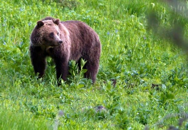 An image of a grizzly bear. Alberta Fish and Wildlife officials are investigating what appears to be a fatal bear attack on private land southwest of Water Valley, which is about 80 kilometres northwest of Calgary. (Jim Urquhart/File/The Associated Press - image credit)