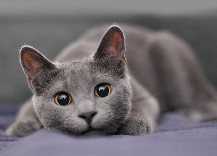 Best Cat Breeds for Apartments