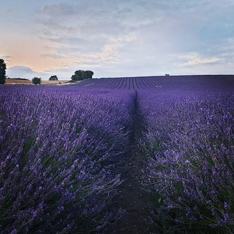 """<p>Over in Hertfordshire, Hitchin Lavender is in full bloom from July to September. Just 40 minutes from central London, it's one of the most Instagrammable flower fields in the UK, with over 21,813 hashtags. Planning a visit this summer? You'll find 25 acres of land, a 17th century barn and a sea of gorgeous lilac. </p><p><a class=""""link rapid-noclick-resp"""" href=""""https://www.hitchinlavender.com/"""" rel=""""nofollow noopener"""" target=""""_blank"""" data-ylk=""""slk:MORE INFO"""">MORE INFO</a> </p><p><a href=""""https://www.instagram.com/p/COWFPesrJjo/"""" rel=""""nofollow noopener"""" target=""""_blank"""" data-ylk=""""slk:See the original post on Instagram"""" class=""""link rapid-noclick-resp"""">See the original post on Instagram</a></p>"""