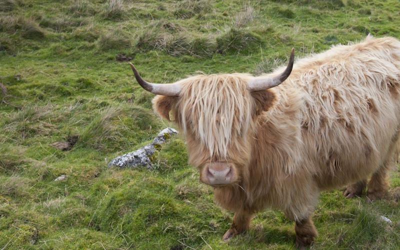 Highland cattle conservation grazing above the village of Malham, Yorkshire Dales National Park - Credit: National Trust Images/Paul Harris