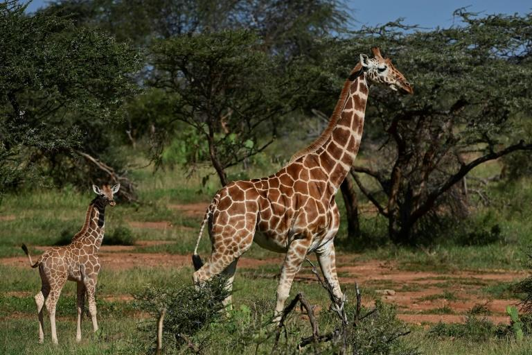 In Kenya, Somalia and Ethiopia, reticulated giraffe numbers fell 60 percent in the roughly three decades to 2018