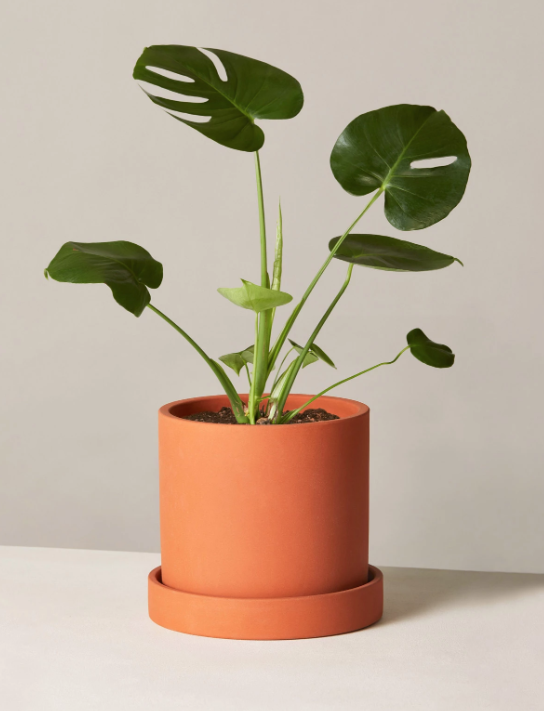 """This """"Swiss Cheese"""" plant is 50% off on TheSill.com for Black Friday. (Photo: TheSill.com)"""