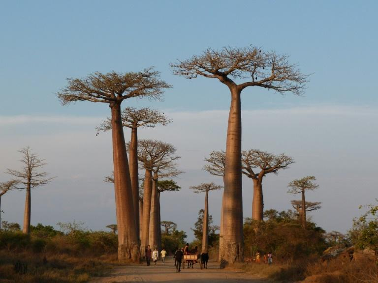 In Madagascar more than half of tree species are threatened with extinction (AFP/ALINE RANAIVOSON)
