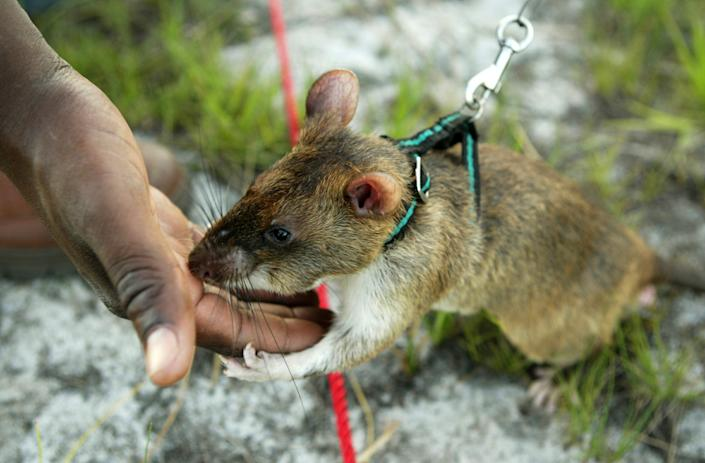 A Gambian giant pouch rat is rewarded with food after locating an inert anti-personnel mine in southern Mozambique. The rats primarily eat fruit and grains but have been know to also eat insects, crabs and snails. Ecologists worry that they will harm crops in Florida. REUTERS/Howard Burditt
