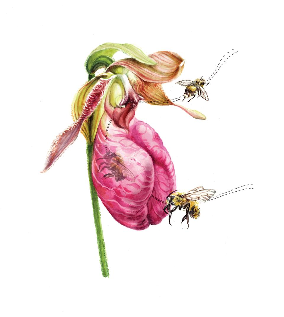 This little drawing illustrates the pollination strategy of the pink lady's slipper orchid.