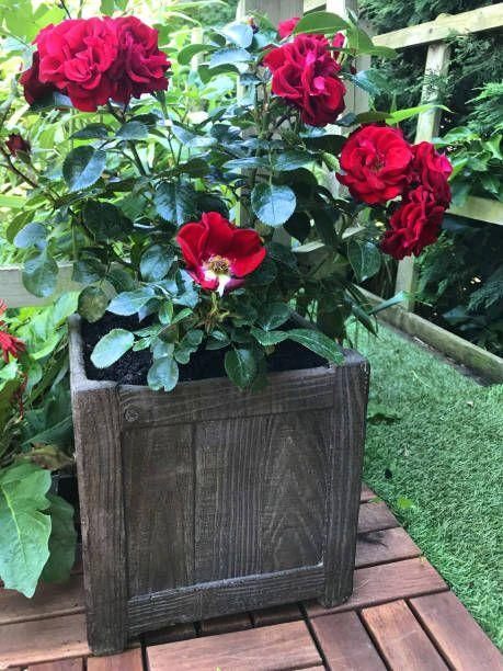 "<p>Roses are hardier than you think! Shrub or landscape types work well in pots, but make sure the pots can withstand freezing temperatures over the winter. For example, ceramic and terra cotta aren't good choices; plastic and wood are better options. Roses need full sun.</p><p><a class=""link rapid-noclick-resp"" href=""https://www.amazon.com/Drift-Peach-Rose-Shrub-Plants/dp/B01ND12FNN/ref=sr_1_8?dchild=1&keywords=rose+shrub&qid=1611351300&sr=8-8&tag=syn-yahoo-20&ascsubtag=%5Bartid%7C10050.g.30420939%5Bsrc%7Cyahoo-us"" rel=""nofollow noopener"" target=""_blank"" data-ylk=""slk:SHOP ROSES"">SHOP ROSES</a></p>"