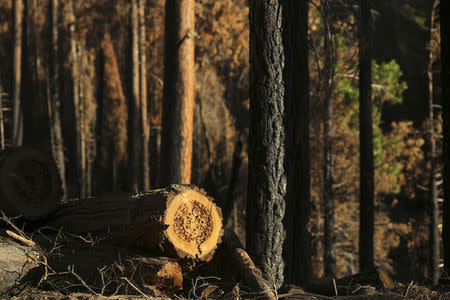 A logged tree stump is pictured amongst trees scorched from last year's Rim fire near Groveland, California July 29, 2014. REUTERS/Robert Galbraith