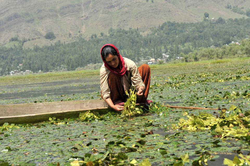 A Kashmiri woman plucks chestnuts from the Wular Lake on August 11, 2015, in Srinagar, India. Wular Lake is one of the largest freshwater lakes in Asia and is located in the north of Kashmir. (Photo by Waseem Andrabi/Hindustan Times via Getty Images)