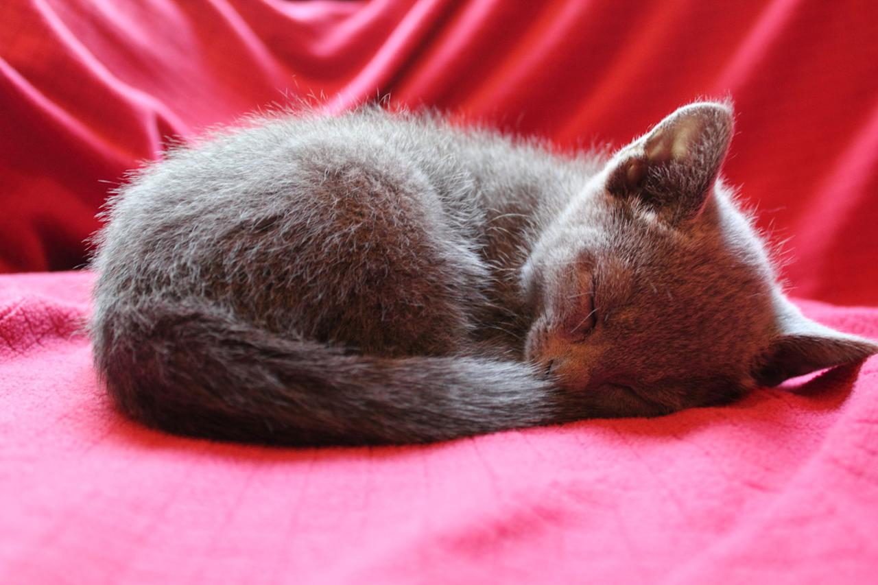 """A Russian Blue kitten featured on Animal Planet's """"Too Cute! Kittens."""""""