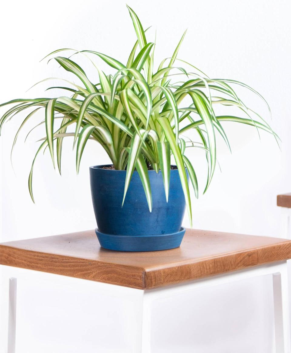 """<h2>Spider Plant</h2><br>""""This whimsical plant is known for its air-purifying qualities and is considered effective at removing carbon monoxide, formaldehyde, xylene, and toluene from the air,"""" Mast explains. Its extreme adaptability also makes it perfect for new plant parents. Bloomscape's official Plant Mom says spider plants are """"nearly impossible to kill."""" They're also pet-friendly, prefer indirect light but can tolerate low light, and only need moderate watering or spritzing. <br>Mast's number one tip for Spider Plant owners? """"The striping on the leaves will be more prominent with indirect lighting, so avoid direct lighting, as it will scorch the leaves.""""<br><br>Gallagher also puts spider plants in her top air-purifying plant list and highlights another of its fun characteristics. """"They tend to let off baby spider plants — 'pups' — that you can share with friends, or fill your house with,"""" she suggests. That's one way to spread the clean air around.<br><br><em>Shop</em> <strong><em><a href=""""http://bloomscape.com"""" rel=""""nofollow noopener"""" target=""""_blank"""" data-ylk=""""slk:Bloomscape"""" class=""""link rapid-noclick-resp"""">Bloomscape</a></em></strong><br><br><strong>Bloomscape</strong> Spider Plant, $, available at <a href=""""https://go.skimresources.com/?id=30283X879131&url=https%3A%2F%2Fbloomscape.com%2Fproduct%2Fspider-plant%2F"""" rel=""""nofollow noopener"""" target=""""_blank"""" data-ylk=""""slk:Bloomscape"""" class=""""link rapid-noclick-resp"""">Bloomscape</a><br><br><strong>Plant Collective</strong> Spider Plant, $, available at <a href=""""https://go.skimresources.com/?id=30283X879131&url=https%3A%2F%2Fplantcollective.co%2Fcollections%2Fhouse-plants%2Fproducts%2Fspider-plant%3Fvariant%3D12757673508963"""" rel=""""nofollow noopener"""" target=""""_blank"""" data-ylk=""""slk:Plant Collective"""" class=""""link rapid-noclick-resp"""">Plant Collective</a>"""
