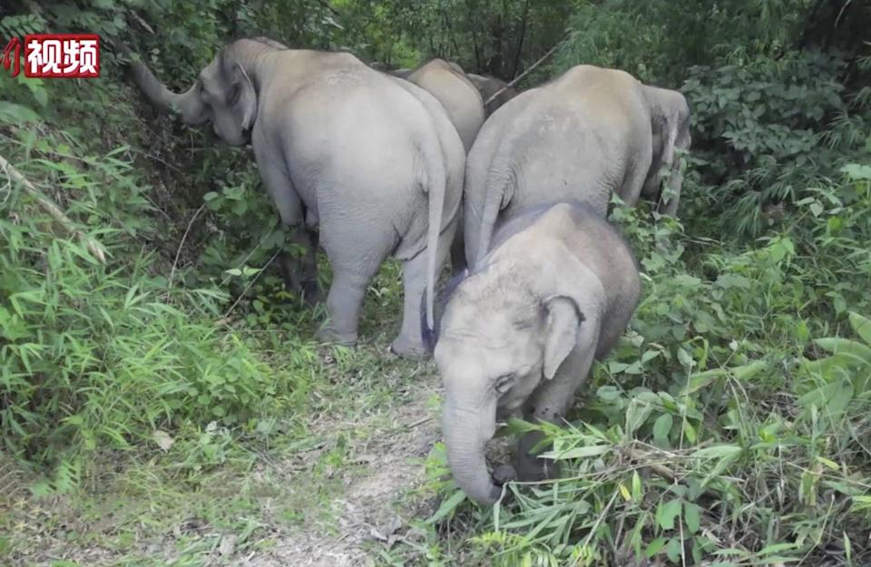 The elephant herd on the move in Xishuangbannan. Photo: China News