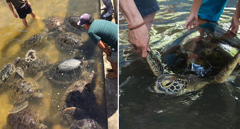 Split screen. A shallow pond of turtles. Tourists holding up a sea turtle.