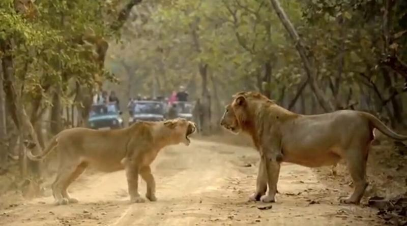 The 'Royal' Jungle Affair! Lion and Lioness Captured Into a Roaring Argument in Gujarat's Gir Forest, Twitterati Reacts to the Viral Video With Hilarious Husband-Wife Jokes