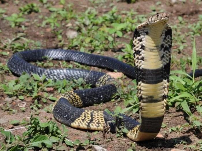 A West African banded cobra. A Texas man who owns one of the snakes reported that it has gone missing. Grand Prairie Police are currently searching for the reptile. (Grand Praire Animal Services)