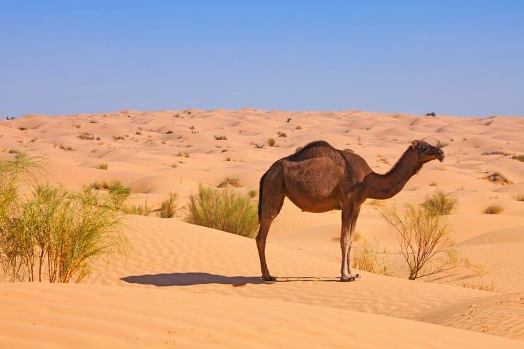 A single dromedary camel in the desert