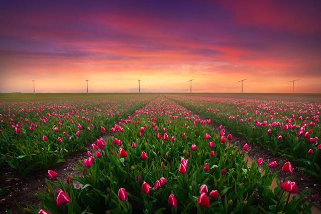 """<p>""""I love lining up wind turbines with tulip fields."""" (Photo: Albert Dros/Caters News) </p>"""