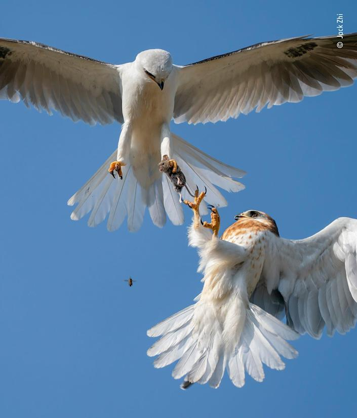 white bird with wings extended mid-air holds mouse in claw while smaller bird with brown speckles reaches claws up to take the mouse