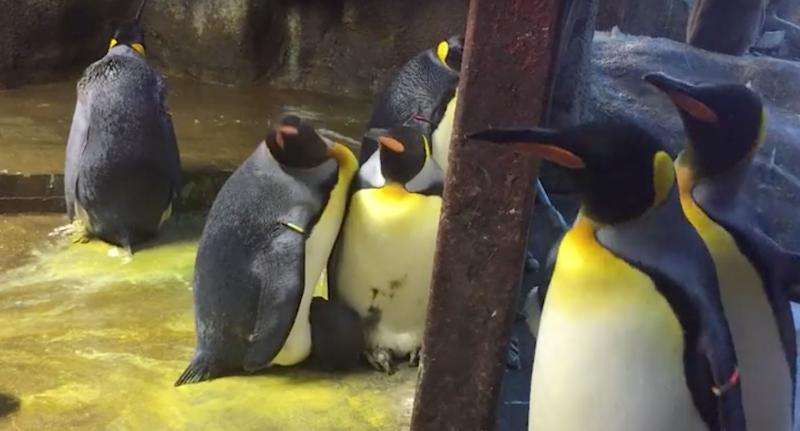 Gay penguins steal neglected chick from straight parents