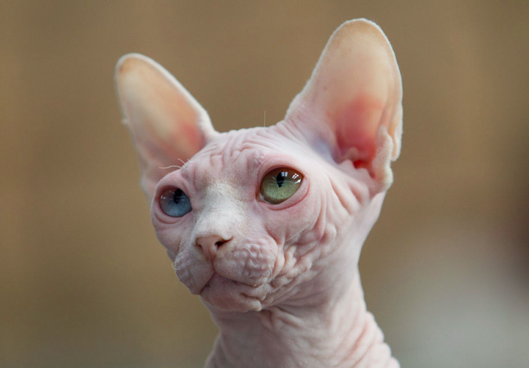 Sphynx cats like this are hairless (Getty/File pic)
