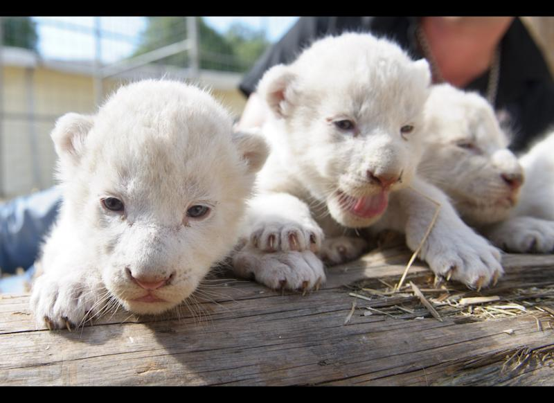 Three white lion babies are pictured in their enclosure on July 17, 2012 in Kempten, southern Germany. Lion mother Princess gave birth to six white lion cubs on July 11, 2012 at the Circus Krone. AFP PHOTO / TOBIAS KLEINSCHMIDT GERMANY OUT (Photo credit should read TOBIAS KLEINSCHMIDT/AFP/GettyImages)