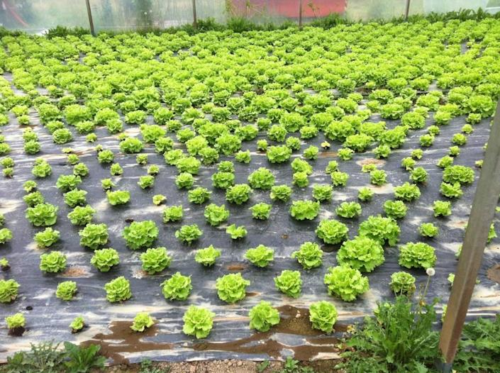 According to researchers, lettuce production is productive'a new biodisinfection method.