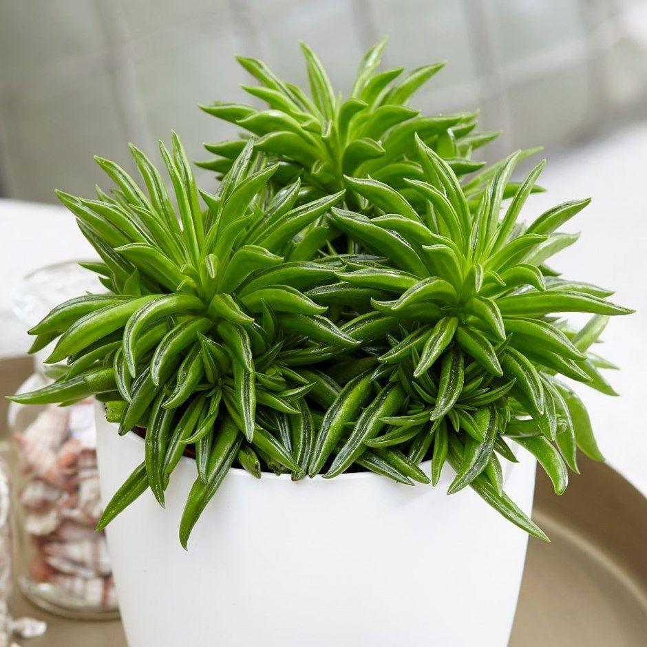 "<p>Spruce up your indoor space with this head-turning unique plant. With a name as fun as it looks, the Happy Bean Plant is less demanding than other houseplants. It's a semi-succulent, which means it can store water during dryer spells. Keep in a bright spot away from direct sunlight. </p><p><a class=""link rapid-noclick-resp"" href=""https://go.redirectingat.com?id=127X1599956&url=https%3A%2F%2Fwww.crocus.co.uk%2Fplants%2F_%2Fpeperomia-happy-bean%2Fclassid.2000032044%2F&sref=https%3A%2F%2Fwww.housebeautiful.com%2Fuk%2Fgarden%2Fplants%2Fg34571764%2Ftrending-houseplants%2F"" rel=""nofollow noopener"" target=""_blank"" data-ylk=""slk:BUY NOW VIA CROCUS"">BUY NOW VIA CROCUS</a> </p>"