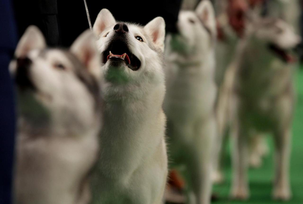 Winnie, a siberian huskie, second from left, competes at the 136th annual Westminster Kennel Club dog show, Tuesday, Feb. 14, 2012, in New York. Winnie received an award of merit in the competition. Winnie received an award of merit after the competition. (AP Photo/Craig Ruttle)