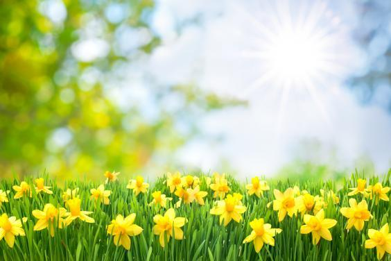 Spring Easter background with beautiful yellow daffodils (Getty Images/iStockphoto)