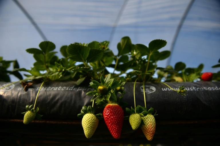 Demand for strawberries is flagging (AFP Photo/CRISTINA QUICLER)