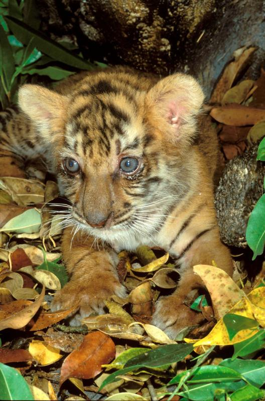 Indian tiger.  Six week old cub. Endangered species. Dist. Asia, but extinct in much of its range.