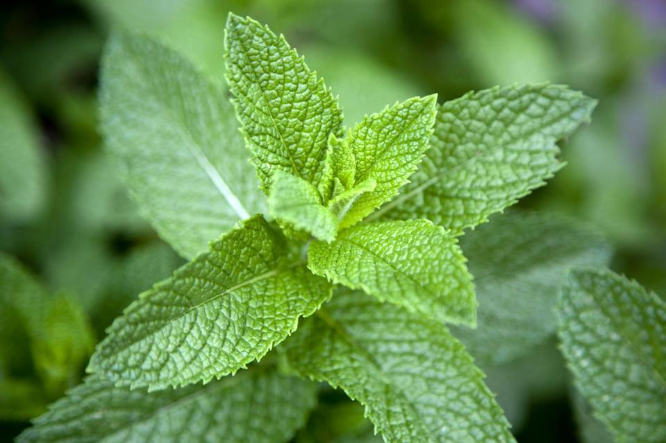 <p>Mint is great for not only garnishing drinks but repelling bugs, too! It's a fantastic mosquito, ant, and spider repellent. Place it in a container as it can run rampant in a garden, and put it where the bugs are! </p>