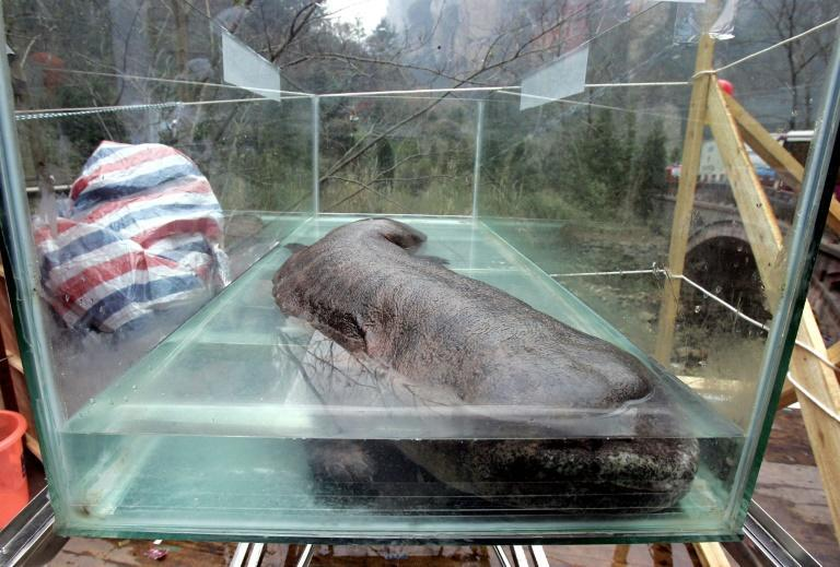 The Chinese giant salamander is the world's largest amphibian and is critically endangered