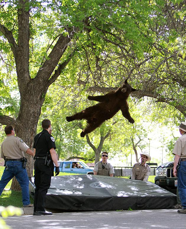 After wandering onto the University of Colorado campus in Boulder and being tranquilized, this black bear fell out of a tree to a soft landing on safety mat below. While the image will live on, unfortunately the bear wasn't so lucky: It was hit by a car after being released back into the wild. (@cuindependent/Twitter)