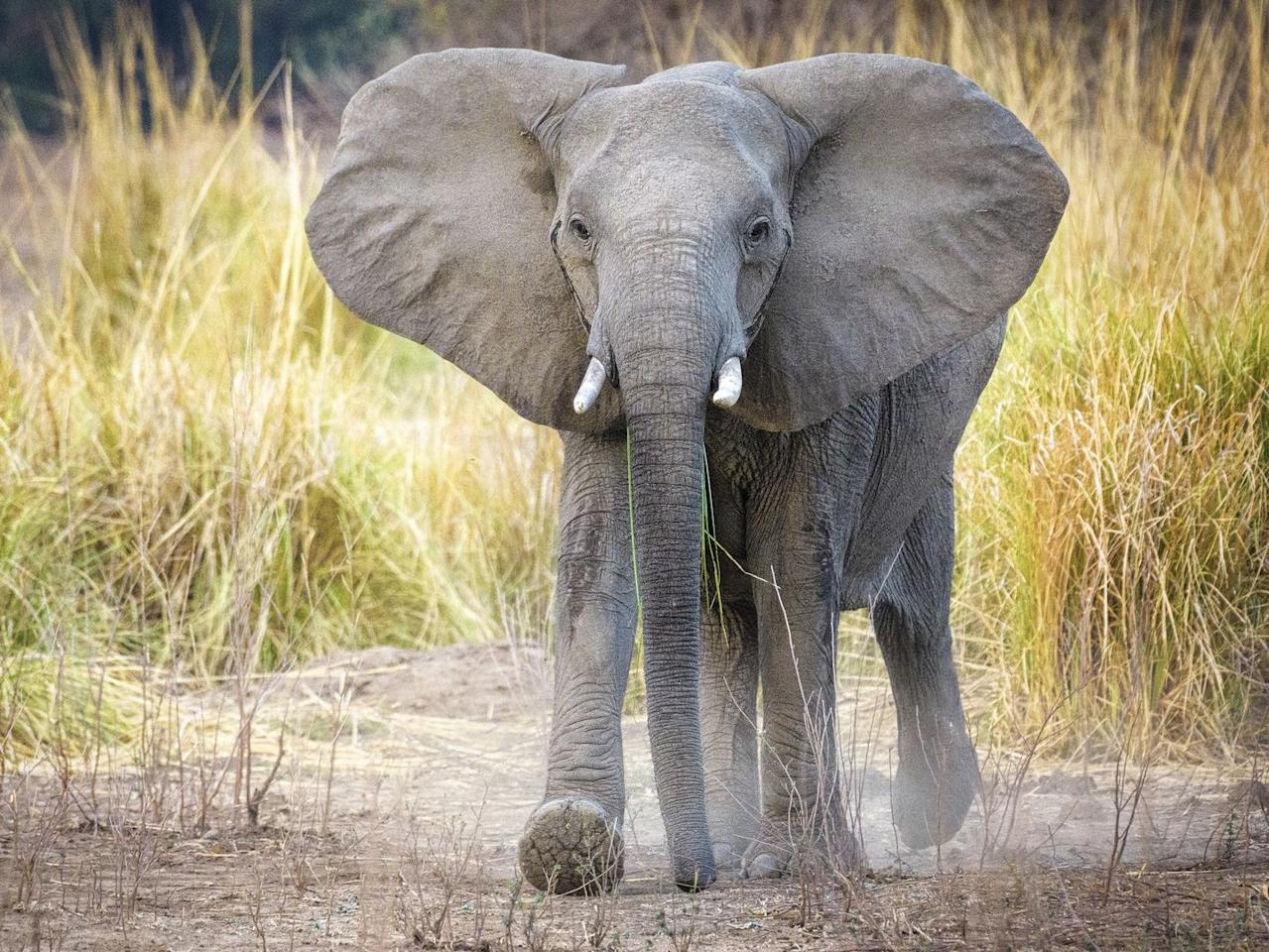 "<p>There are over <a href=""https://www.worldwildlife.org/species/african-elephant"" target=""_blank"">415,000 African elephants</a> left in the wild, and the species is considered vulnerable. It's particularly worrying when you consider that Asian elephants are already on the 'endangered' list. The African elephant population has been in sharp decline because of poaching for ivory. </p>"