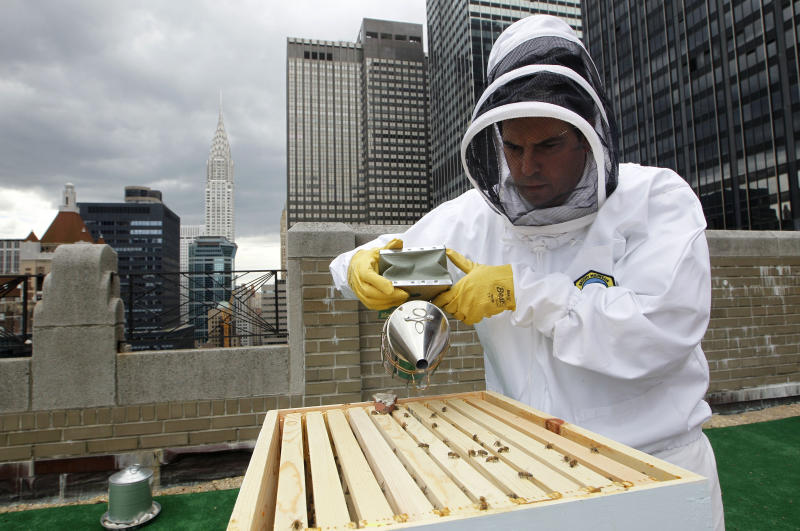 Waldorf Astoria hotel culinary director David Garcelon uses a smoker to calm honey bees residing in hives on the hotel's 20th floor roof in New York, Tuesday, June 5, 2012. The hotel, a favorite stopover for numerous presidents, plans to harvest its own honey and help pollinate plants in the skyscraper-heavy heart of the city, joining a mini beekeeping boom that has taken over hotel rooftops from Paris to Times Square. (AP Photo/Kathy Willens)