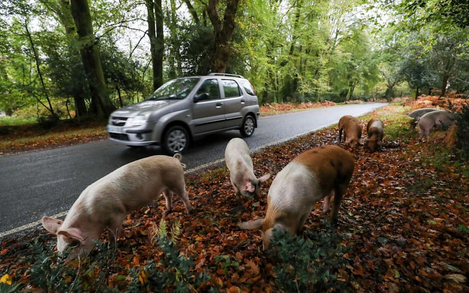 Domestic pigs roam the roadside near Burley, Hampshire, as they take part in Pannage, or 'Common of mast' - Andrew Matthews/PA Wire